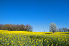 Blossom trees in rapeseed field Royalty Free Stock Image