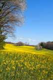 Blossom trees in rapeseed field Stock Image