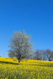 Blossom trees in rapeseed field Royalty Free Stock Photo