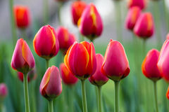 Blossom tulip Royalty Free Stock Image