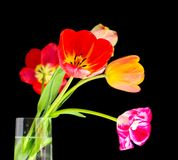 Blossom of tulips. Varicoloured tulips in vase on black isolated Royalty Free Stock Photos