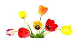 Blossom of tulips Stock Photos
