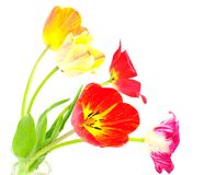 Blossom of tulips. Posy of colourfull tulips on white isolated Royalty Free Stock Photos
