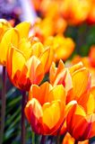 Blossom Tulips Closeup Royalty Free Stock Photos
