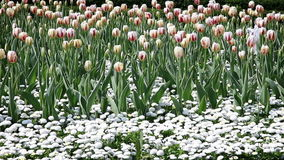 Blossom tulips and other flowers stock footage