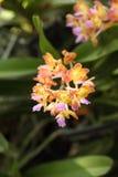 Blossom vanda orange orchid Royalty Free Stock Photography