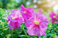 Blossom vivid pink petunia in garden Royalty Free Stock Photo