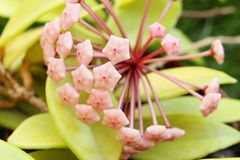 Blossom of wax plant with bright green leaves from close-up. Porcelainflower. Hoya carnosa stock images