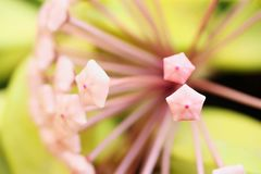 Blossom of wax plant from close-up. Porcelainflower. Hoya carnosa royalty free stock images
