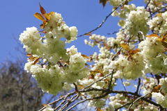 Blossom white apple tree flowers closeup Royalty Free Stock Photos