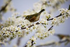 Blossom, White, Bird, Spring Royalty Free Stock Image