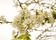 Blossom white cherry. Cherry tree blossom flower on branch Royalty Free Stock Photos
