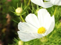 Blossom of white cosmos from close-up. There is small bud in the background. Bright picture royalty free stock image