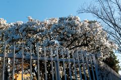 Blossom white flower on tree behind steel fence, spring weather royalty free stock photography