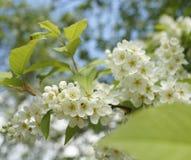Blossom white flowers tree branch bird berry blue sky garden. Blossom white flowers close-up garden branch blue sky green leaf birdberry stock images