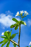 Blossom white frangipani with beauty blue sky in back Royalty Free Stock Photo