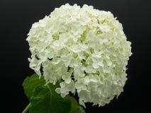 Blossom of white Hydrangea Hortensia. White Hortensia, isolated on black background Stock Photography