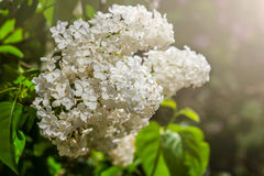 Blossom white lilac Royalty Free Stock Photo