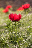 Blossom of wild red peony flower Stock Photo