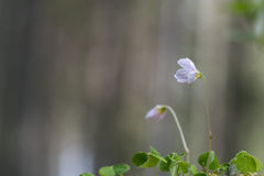 Blossom wood-sorrel flower Stock Photo