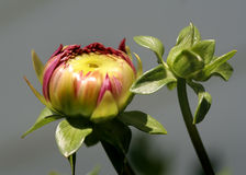 Blossom yellow. Dahlia bud about to open Stock Photos
