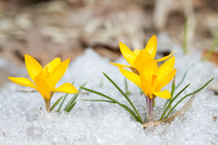 Blossom yellow crocuses Stock Photos