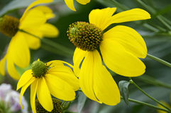 Blossom of a yellow Echinacea Royalty Free Stock Photography