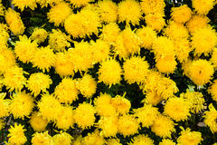 Blossom Yellow flowers background Royalty Free Stock Images