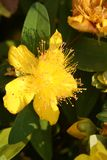 Johanniskraut -. The blossom of a yellow hypericum - close-up Stock Photo