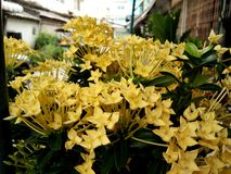 Blossom yellow Ixora, spike flower bouquet, blurred outdoor background. Blossom yellow Ixora, spike flower bouquet, green leaves on tree, blurred outdoor stock photos
