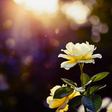 Blossom  yellow roses background with bokeh lights Royalty Free Stock Images