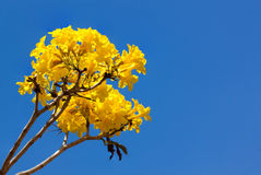 Blossom Yellow tabebuia flower Stock Images