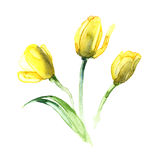 The blossom of the yellow tulips  Royalty Free Stock Image