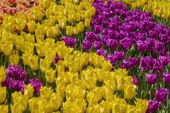 Blossom yellow and violet tulip flowers on field. Background Stock Photos