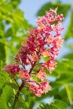 Blossomchestnut树 免版税库存图片