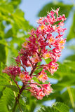 Blossomchestnut tree Royalty Free Stock Images