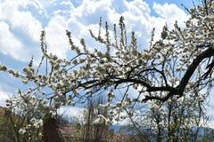 blossomed вал Стоковые Изображения