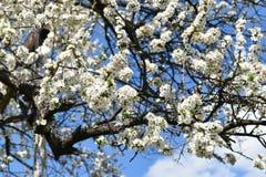 blossomed вал Стоковое Изображение RF