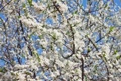 blossomed вишня Стоковая Фотография RF