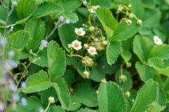 Blossomed цветки клубники Стоковые Фотографии RF