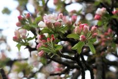 Blossomed apple tree Royalty Free Stock Photography