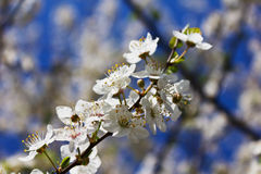 Blossomed apple tree in spring Stock Images