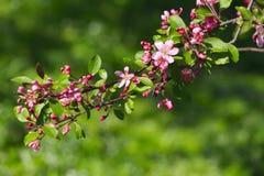 Blossomed apple tree Royalty Free Stock Photo
