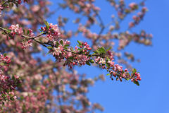 Blossomed apple tree Royalty Free Stock Image