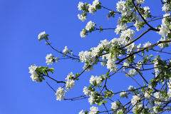 Blossomed apple tree Royalty Free Stock Images