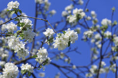 Blossomed apple tree Stock Images