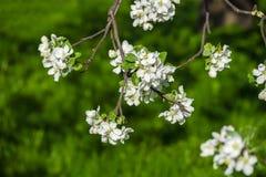 Blossomed apple tree Stock Photos