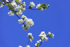 Blossomed apple tree Royalty Free Stock Photo