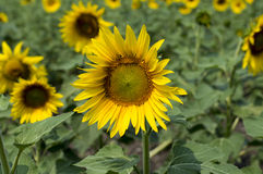 The blossomed beautiful sunflowers in the field Royalty Free Stock Image