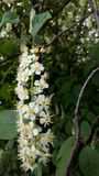 Blossomed bird cherry stock images